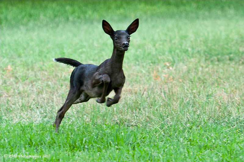 post cool animals Melanistic-black-fawn
