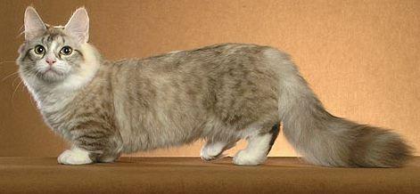the munchkin cat bioventures