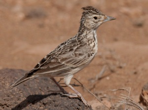 raso-lark-photo-credit-edwin-winckel