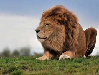 Lion_162890984_0