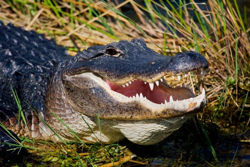Keystone Species: American Alligator | Bioventures