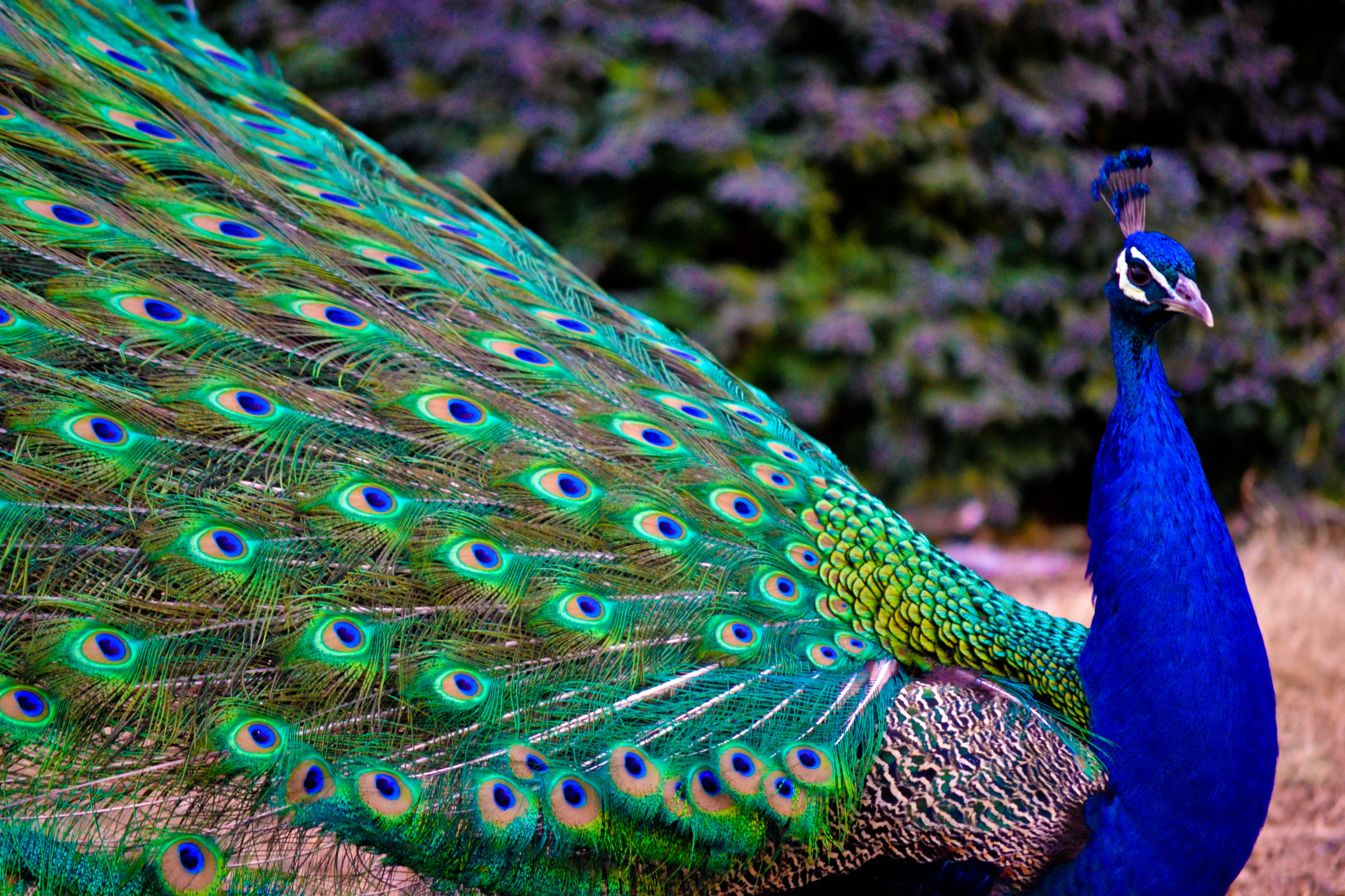 Beautiful Wallpaper Horse Colorful - peacock-photo  Picture_319877.jpg