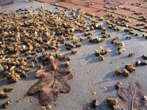 honeybees-dead