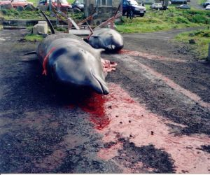 Killed_pilot_wales,_faroe_islands