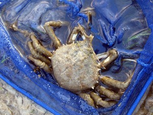 I believed the crab we saw was a spider crab. I don't know much about them however and I am not 100% sure