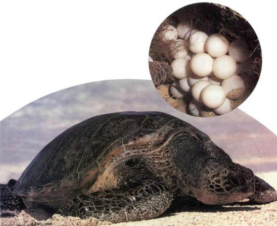 Green_Sea_Turtle_J01-adult-and-eggs-m