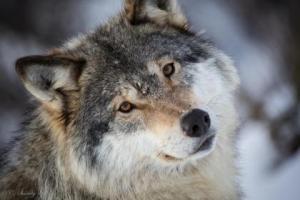 a-grey_wolf-1579758
