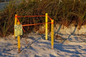 source: http://totallystaugustine.com/sea-turtle-nests-continue-at-a-slow-pace/