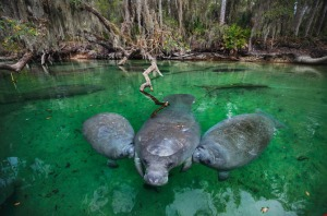 10-young-manatees-nurse-mothers-teats-670