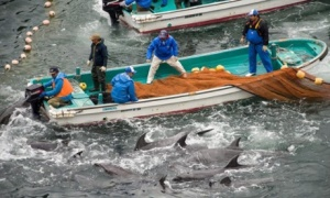 Annual dolphin hunt in Taiji, Japan