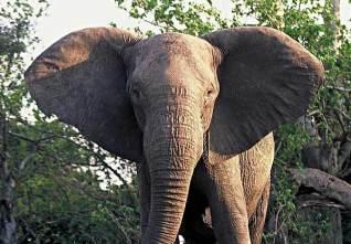 elephant_epkp4_med