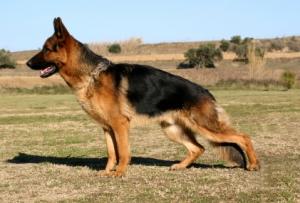 German_Shepherd_Profile