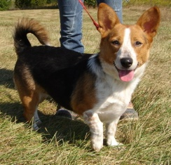 corgi_beagle_mix_hybrid_breed