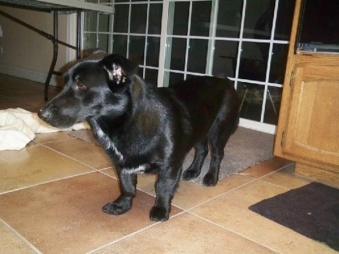 corgi_black_lab_mix_hybrid_breed