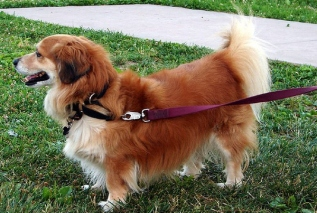 corgi_golden_retriever_mix_hybrid_breed
