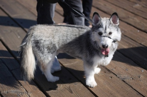 corgi_husky_mix_hybrid_breed