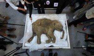 baby mammoth carcass