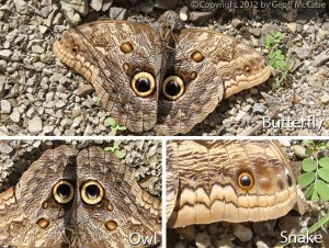 butterfly-owl-or-snake
