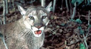 florida-panther-fws