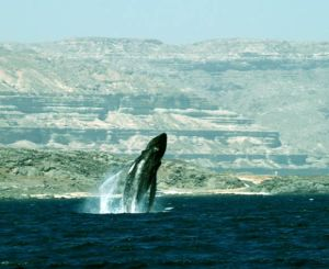 Arabian Sea Humpback whale photographed in Dhofar, Southern Oman. Image credit: T. Collins / D. MacDonald.