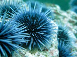 sea-urchins08-sea-urchin_17935_600x450