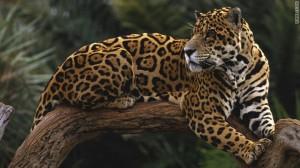 t1larg.jaguar