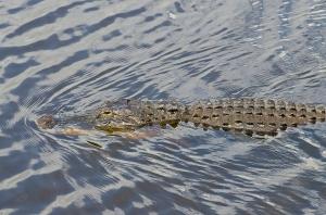 Gator09