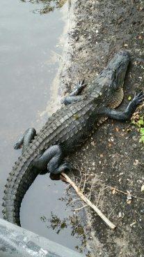 Mayakka_alligator