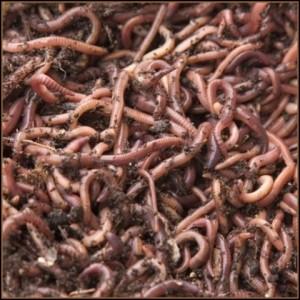 http://gardeningnewstoday.com/wp-content/uploads/2012/04/red-worms.jpg
