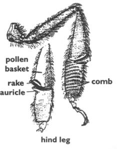 Beehindlegdiagram